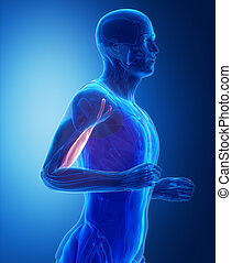 Biceps brachii - human muscle anatomy