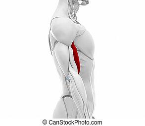 Biceps brachii - Muscles anatomy map