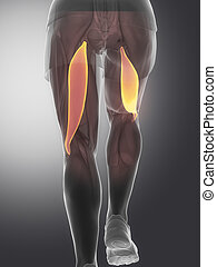 Biceps femoris - human muscle anatomy