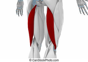 Biceps femoris - Muscles anatomy map
