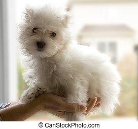 bichon dog