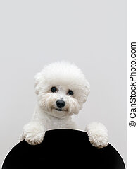 bichon, dog