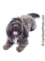 bichon dog standing on a white background