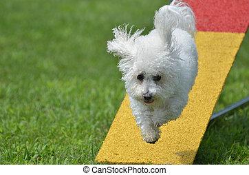 Bichon Frise at a Dog Agility Trial
