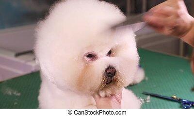 Bichon Frise dog grooming - Groomer using scissors to cut...