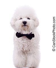bichon frise with neck bow over white background