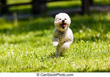 bichon in the park