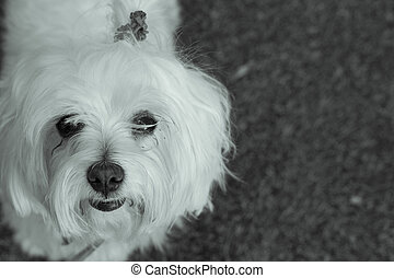 Bichon Maltese. Small white dog. - White small dog in...