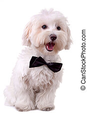 bichon maltese with mouth open and neck bow over white