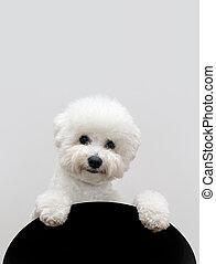 bichon, perro