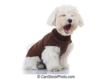 bichon puppy dog wearing clothes is screaming