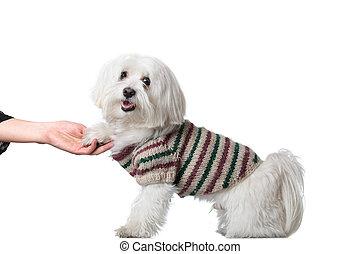 Bichon puppy saying hi