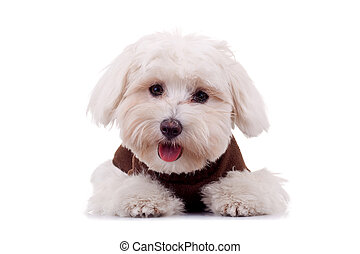 Bichon puppy with clothes isolated on white , looking at the...