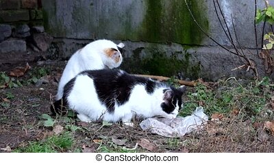 Bicolor cat is eating something, and the second young kitty...