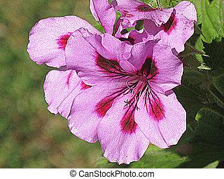 Bicolor geranium (HDR)