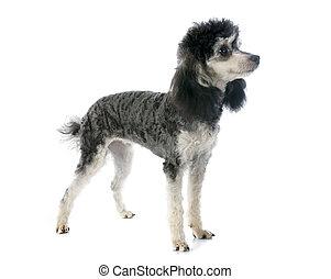 bicolor, poodle