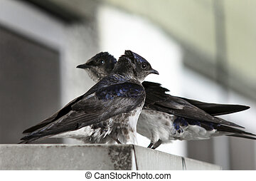 Bicolor swallow - Two swallows at the arrival of spring ......