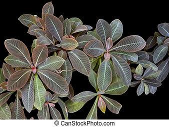 bicolor veined plant - closeup shot of veined bicolor red ...