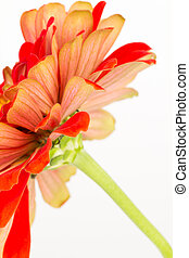 bicolored, zinnia, vue côté