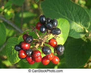 bicolour ornamental berries tall plant