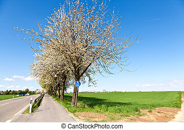 bicycle lane under blooming tree in spring