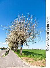bicycle lane under blooming tree in spring