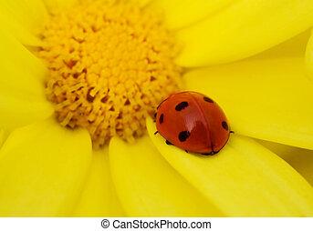 biedronka, kwiat, żółty
