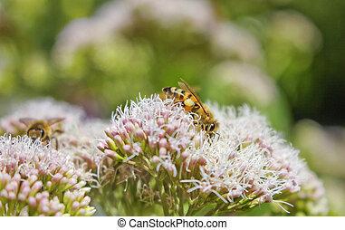 bienen natur sommer - 2 Bienen in einem sommerlichen...