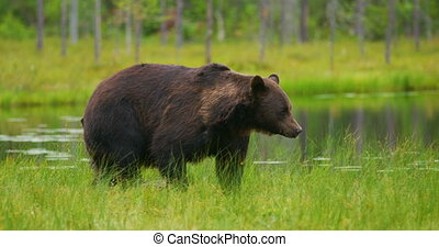 Big adult brown bear walking and running free in the forest...