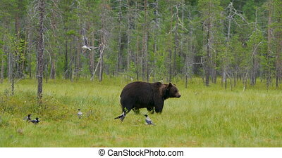 Big adult brown bear walking free in beautiful nature -...