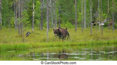 Big adult brown bear walking free in beautiful nature -...