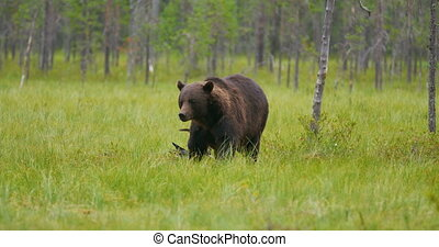 Big adult brown bear walking in the forest while birds...