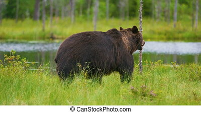 Big adult brown bear walking in the forest - Large brown...