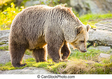 Big adult brown bear walking in the sunset