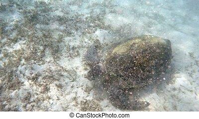 adult green sea turtle (Chelonia mydas) graze in red sea, Marsa Alam, Egypt
