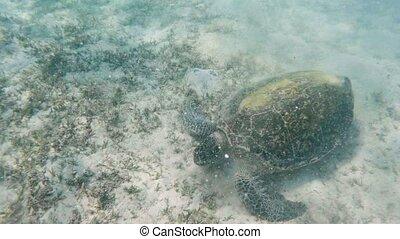 big adult green sea turtle (Chelonia mydas) grazing in red sea, Marsa Alam, Egypt