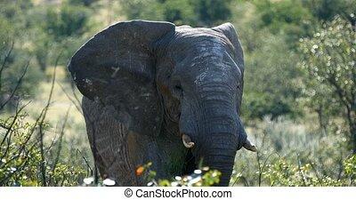 big african elephants in Etosha national park, Namibia -...