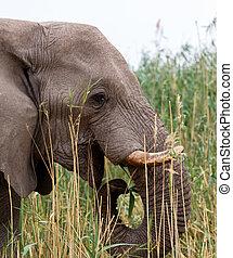 Portrait of african elephants, Etosha national Park Ombika Kunene, Namibia, wildlife photography