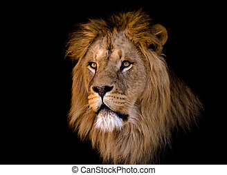 big african male lion - portrait of a big african male lion