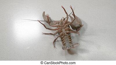 Big alive crayfish on a white background. - Big alive ...