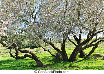 Big almond tree in bloom
