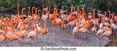 big American flamingo family standing all together, tropical birds from the galapagos islands