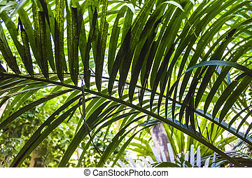 Big and bright green leaves of a palm tree of different shades in a botanical garden. Greenhouse. Tropical forest. Plants. Nature.