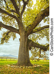 Big and secular oak tree on a green meadow. Tuscany, Italy....