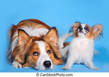 big and small - border collie and pappilion puppy