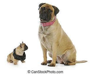 big and small dog - french bulldog puppy looking up to bull mastiff both wearing studded collars