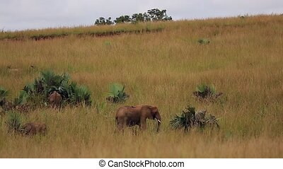 Big and small lephants graze in the tall grass of the African Savannah