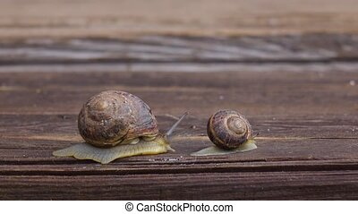Big and small snail crawling on a wooden board