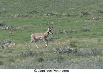 Big Antelope Buck - a big pronghorn antelope buck on the...