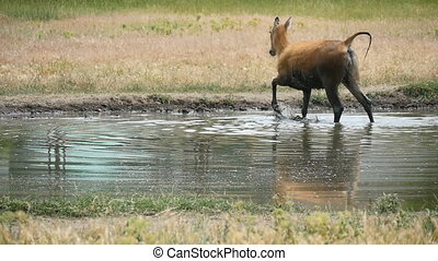 Big antelope crosses the river and runs away with a raised tail in slow motion